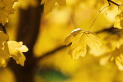 Ahornbaum im Herbst Stockbilder