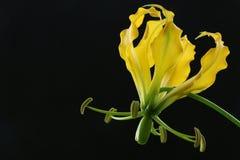 Gelbe gloriosa Blume auf schwarzem Hintergrund 2 Lizenzfreie Stockfotografie