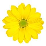 Gelbe Gänseblümchen-Blume mit der grünen Mitte getrennt Stockbild