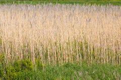 Gelbe Gräser Lizenzfreie Stockbilder