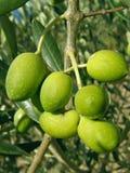 Gelbe grüne Oliven in der Natur Lizenzfreie Stockfotografie