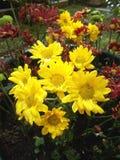 Gelbe grebera Blume Stockbilder