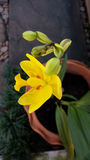 Gelbe Grundorchidee lizenzfreie stockfotografie