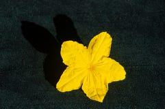 Gelbe Gurkenblume mit einem interessanten Schatten auf einem dunklen Hintergrund Stockfotografie