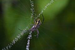 Gelbe hölzerne Spinne auf seinem Unterschriftennetz stockfoto