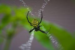 Gelbe hölzerne Spinne auf seinem Unterschriftennetz lizenzfreie stockbilder