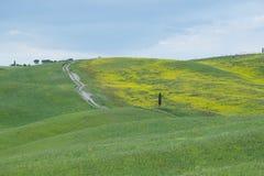 Gelbe Hügel des Rapssamens mit Zypressen und grünen Wiesen in Val d 'Orcia, Toskana lizenzfreie stockbilder