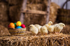 Gelbe Hühner auf einem Heuschober, kleine gelbe Hühner, wenig slee Stockfoto