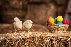 Gelbe Hühner auf einem Heuschober, kleine gelbe Hühner, wenig slee Lizenzfreies Stockbild