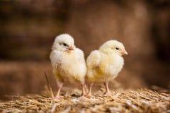 Gelbe Hühner auf einem Heuschober, kleine gelbe Hühner, wenig slee Lizenzfreie Stockbilder