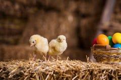 Gelbe Hühner auf einem Heuschober, kleine gelbe Hühner, wenig slee Stockbilder
