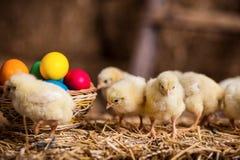 Gelbe Hühner auf einem Heuschober, kleine gelbe Hühner, wenig slee Lizenzfreie Stockfotos