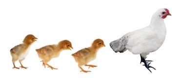 Gelbe Hühner der Hennenameise drei lokalisiert auf Weiß Lizenzfreie Stockbilder
