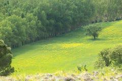 Gelbe H?gel des Rapssamens mit Zypressen und gr?nen Wiesen in Val d ?Orcia, Toskana lizenzfreies stockbild