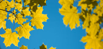 Gelbe Herbst-Ahornblätter auf blauem Himmel Stockfotografie