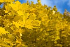 Gelbe Herbst-Ahornblätter Stockfotos