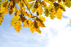 Gelbe Herbst-Ahornblätter Stockfotografie