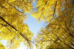 Gelbe Herbst Treetops Lizenzfreies Stockfoto