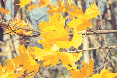 Gelbe Herbstahornblätter Stockfoto
