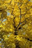 Gelbe Herbstbaumansicht von unterhalb Lizenzfreies Stockbild