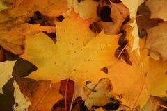Gelbe Herbstblätter Stockfotos