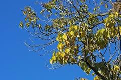 Gelbe Herbstblätter gegen blauen Himmel Stockbilder