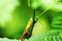 Gelbe Heuschrecke, die unter den grünen Blättern sich versteckt stockfotos