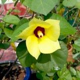 Gelbe Hibiscus tiliaceus Blume Stockfotografie