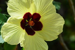 Gelbe Hibiscusblume Lizenzfreies Stockbild