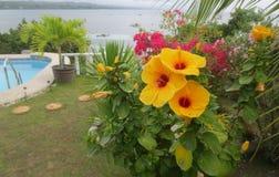 Gelbe Hibiscusrosa-sinenses lizenzfreie stockfotos