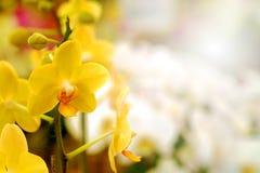 Gelbe hintergrundbeleuchtete Orchidee oder gelbe farland Orchideenblume im Garten Stockfotografie