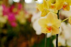 Gelbe hintergrundbeleuchtete Orchidee oder gelbe farland Orchideenblume im Garten Stockbilder