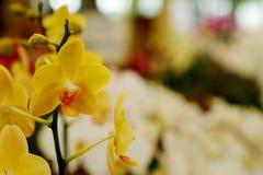 Gelbe hintergrundbeleuchtete Orchidee oder gelbe farland Orchideenblume im Garten Stockfoto