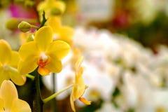 Gelbe hintergrundbeleuchtete Orchidee oder gelbe farland Orchideenblume im Garten Stockfotos