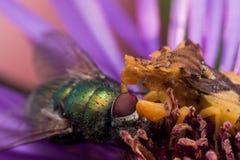 Gelbe Hinterhalt-Wanze isst glänzende grüne Fliege auf purpurroter Aster stockfoto