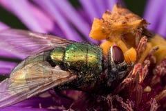 Gelbe Hinterhalt-Wanze isst glänzende grüne Fliege auf purpurroter Aster stockfotografie