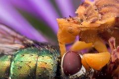 Gelbe Hinterhalt-Wanze isst glänzende grüne Fliege auf purpurroter Aster stockfotos
