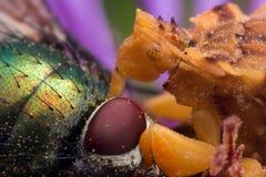 Gelbe Hinterhalt-Wanze isst glänzende grüne Fliege auf purpurroter Aster lizenzfreies stockfoto