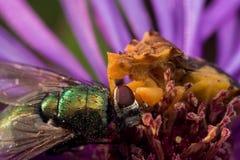 Gelbe Hinterhalt-Wanze isst glänzende grüne Fliege auf purpurroter Aster lizenzfreies stockbild