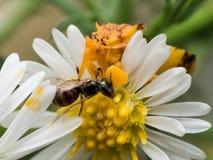 Gelbe Hinterhalt-Wanze isst Wespe auf weißer Aster Stockfotografie