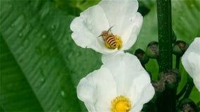 Gelbe Honigbiene trifft schwarze Pulloverspinne, beim Fliegen auf Blume und sammelt Nektar stock video