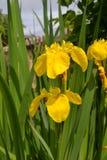 Gelbe Iris Stockbild