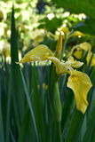 Gelbe Iris Lizenzfreie Stockfotos