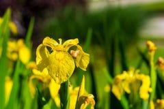 Gelbe Iris Stockfoto