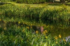 Gelbe Iris auf dem Flussufer Stockfotos