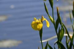 Gelbe Iris auf dem Ufer Lizenzfreie Stockbilder