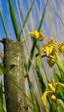 Gelbe Iris Being Visited By eine Biene (Iris Pseudacorus) Lizenzfreie Stockfotos