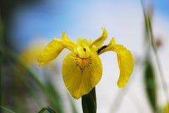 Gelbe Iris blüht auf dem Seeufer gegen den blauen Himmel Stockfoto