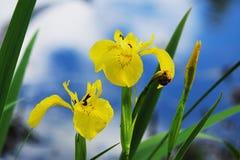 Gelbe Iris blüht auf dem Seeufer gegen den blauen Himmel Stockbild
