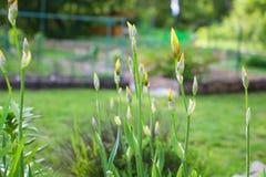 Gelbe Iris Bud - helle gelbe Iris knospt im Garten tagsüber in shalow Schärfentiefe Lizenzfreie Stockfotos
